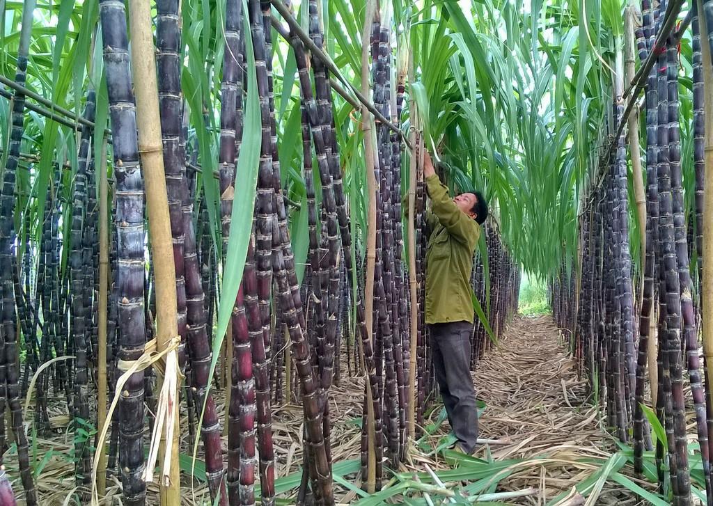 Truy xuất nguồn gốc: Ngăn nhập lậu ngành mía đường